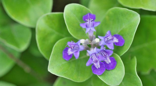 vital rotundifolia