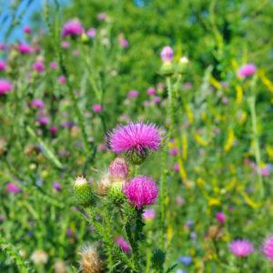 pink milk thistle flower