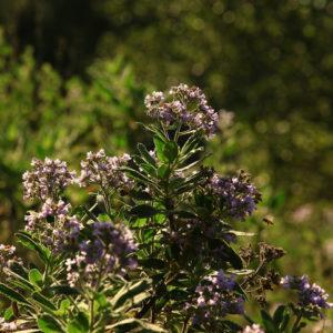 yerba santa shrubs