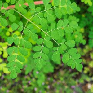 horseradish tree leaf