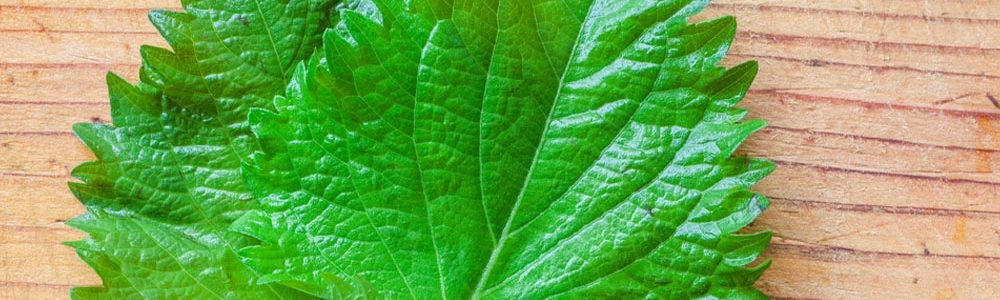 Shisho Leaf